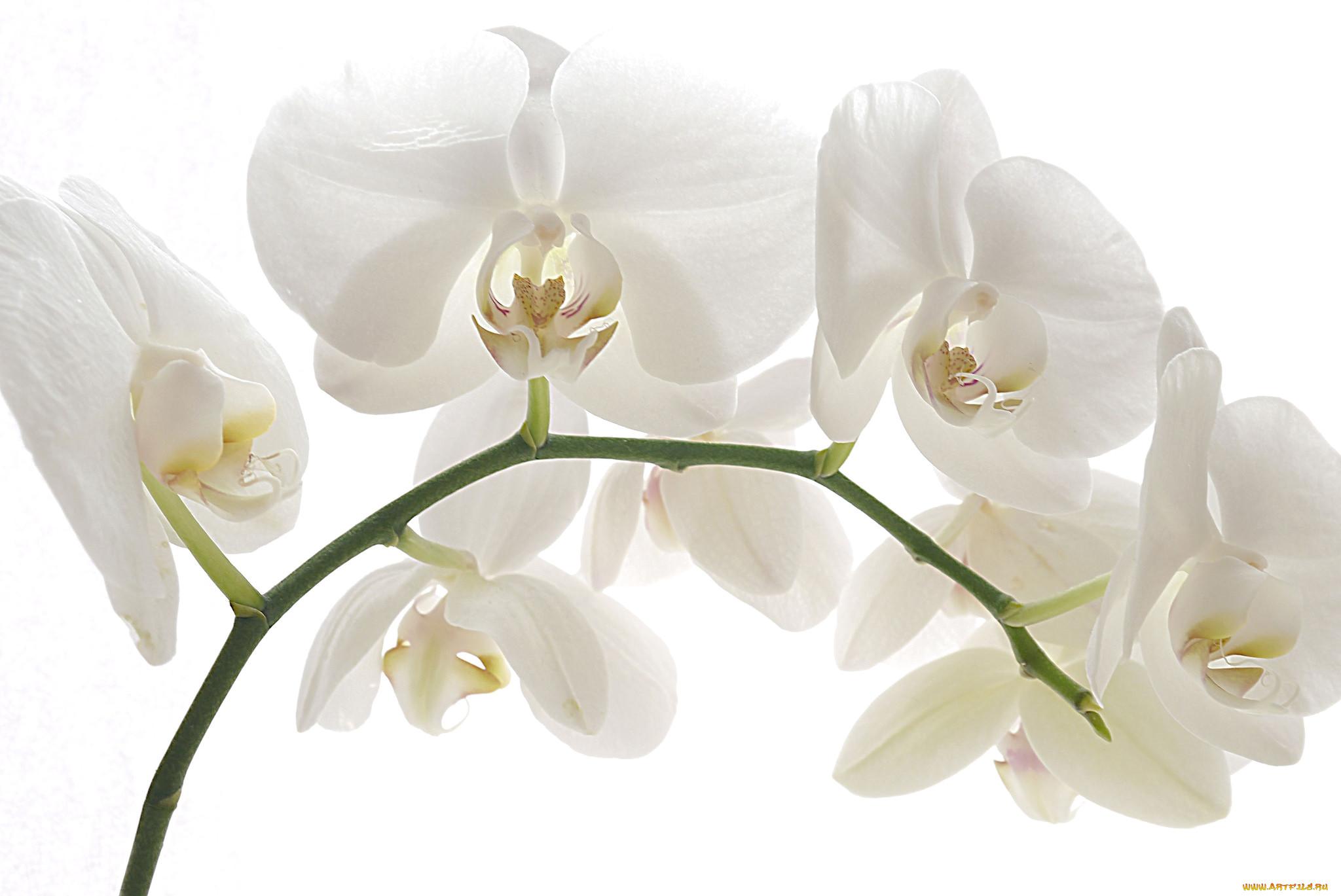 контур, фото белая ветка орхидеи это листы